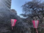 桜の季節の目黒川(3月・4月の桜開花時期限定)