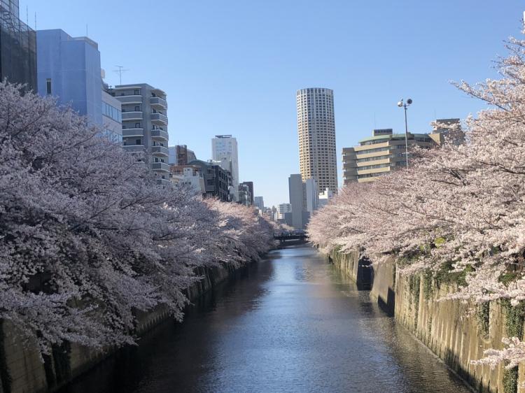 目黒川の両岸の桜並木