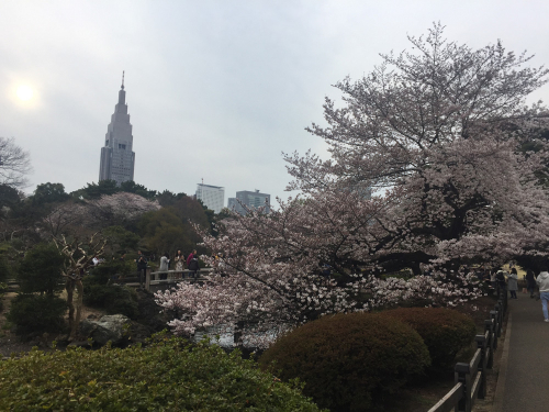 日本庭園と桜と新宿高層ビル