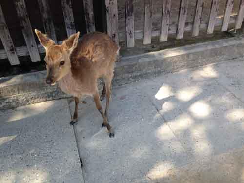 宮島には鹿がたくさん