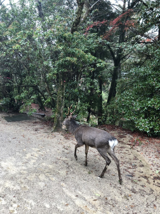鹿も普通に歩いていたりする