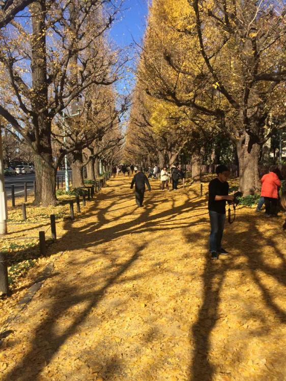 いちょう並木通りの紅葉時には枯れ葉による黄色の絨毯が出現