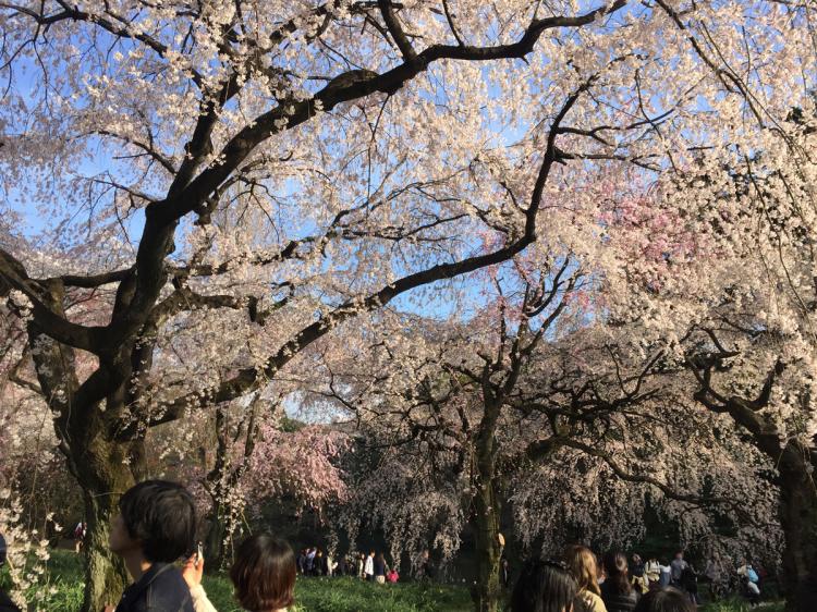 新宿御苑 花見の季節