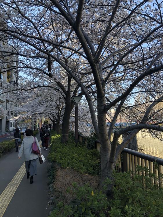 ずっと河岸沿いの道には桜の木が並ぶ